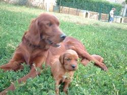 Gabanna , chien Setter irlandais