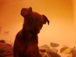Gabano, chien Chihuahua