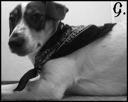 Gabbana, chien Jack Russell Terrier