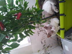 Gabbana, chat British Shorthair