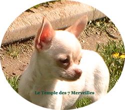 Gabbana Du Temple Des 7 Merveilles, chien Chihuahua