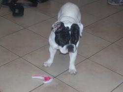 Gabby, chien Bouledogue français