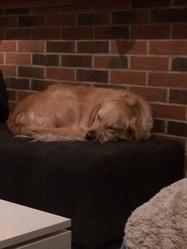 Gabby, chien Golden Retriever