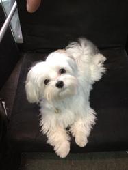 Gabi, chien Bichon maltais