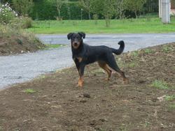 Gabie, chien Beauceron