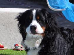 Gabin, chien Bouvier bernois