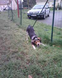 Gabin, chien Épagneul breton