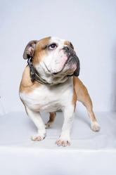Gabin, chien Bulldog