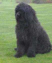 Gabin, chien Terre-Neuve