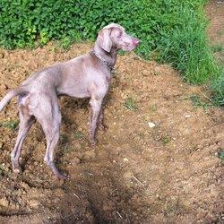 Gabin, chien Braque de Weimar