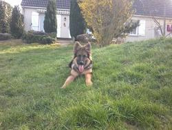 Gabin, chien Berger allemand
