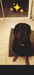Gabriel, chien Rottweiler