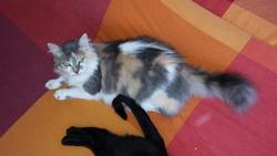 Gaby, chat Européen