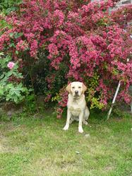 Gaby, chien Labrador Retriever