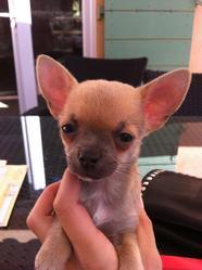 Gaby, chien Chihuahua