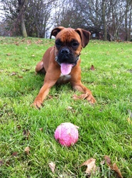 Gaby, chien Boxer