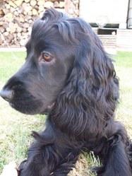 Gaby, chien Cocker anglais