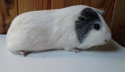 Gaby, rongeur Cochon d'Inde