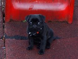 Gaby, chien Carlin