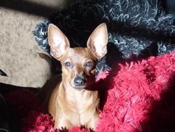 Gaby, chien Pinscher
