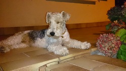 Gaby, chien Fox-Terrier