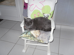 Gaby, chat Chartreux