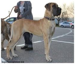 Gachka, chien Dogue allemand