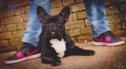 Gad, chien Bouledogue français