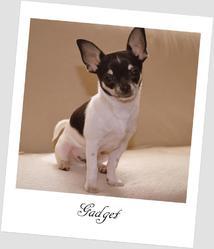 Gadget, chien Chihuahua