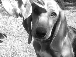 Gadjet, chien Beagle