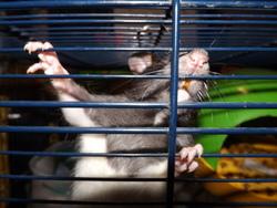 Gadjo, rongeur Rat