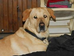 Gadjo, chien Labrador Retriever