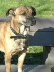 Gadou, chien Jack Russell Terrier