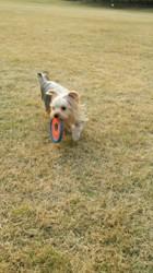 Gaebul, chien Yorkshire Terrier