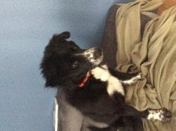 Gaël, chien Border Collie