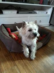 Gaélic, chien Cairn Terrier