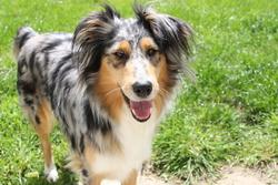 Gaelise, chien Berger australien