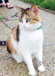 Gaëlle, chat Européen