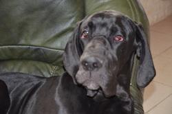 Gaelle, chien Dogue allemand