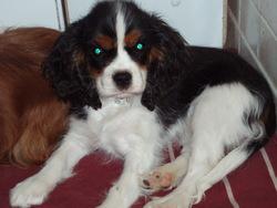 Gaellia Du Mont Berrue, chien Cavalier King Charles Spaniel