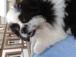 Gaetan, chien Shih Tzu