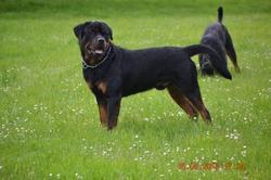 Gaff, chien Rottweiler