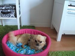 Gaffy, chien Chihuahua