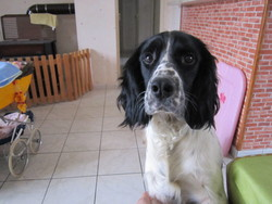 Gafi, chien Springer anglais