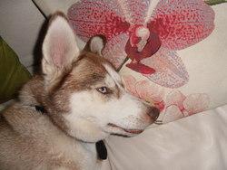 Gafie, chien Husky sibérien