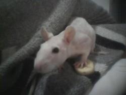 Gaga, rongeur Rat
