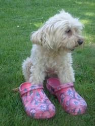 Gagouille, chien Caniche