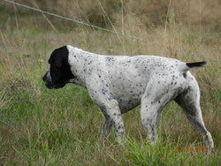 Gahia Du Ruisseau De Montbrun, chien Braque d'Auvergne