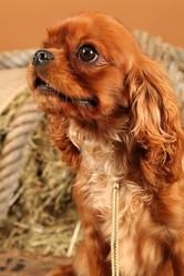 Gahnima Du Mesnil Des Granges, chien Cavalier King Charles Spaniel