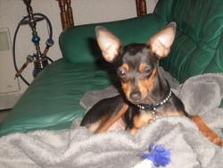 Gahos, chien Pinscher